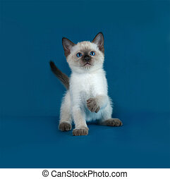 Thai white kitten sitting on blue background