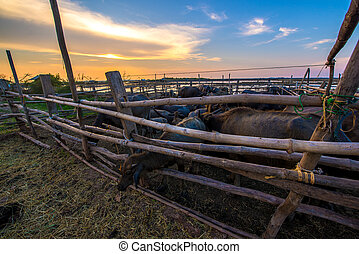 Thailand buffalo in corral at sunset