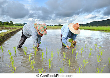 farmer work in a rice plantation