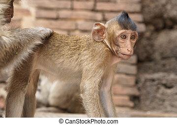 thailand, groep, aapjes