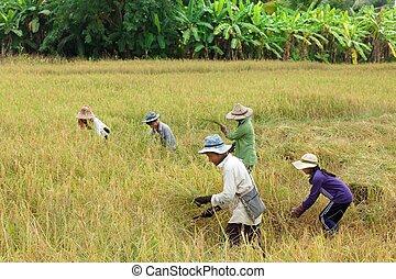 Thailand Rice harvest