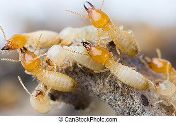 thailand, termiten