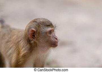 thailand, zuidelijk, aapjes