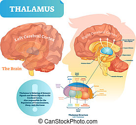 Thalamus vector illustration. Labeled medical diagram with...