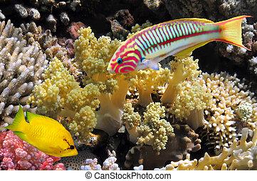 thalassoma, klunzingeri, (klunzinger's, wrasse), 以及, 珊瑚,...