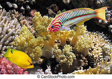thalassoma, klunzingeri, (klunzinger's, wrasse), y, coral,...