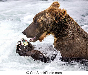 Thank you Mr. Salmon - Katmai Brown Bear looks as if he is...