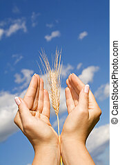 Woman hands holding corns against blue sky - thanksgiving, praying and mother nature concept