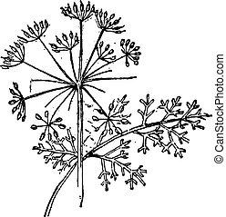 Thapsia plant, vintage engraving. - Thapsia plant, vintage...