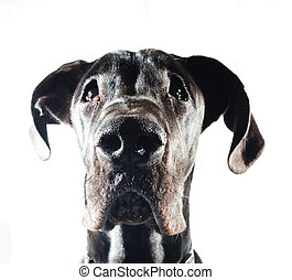 That stare - Black great dane that is looking sad at the ...