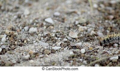 Thaumetopoea pityocampa - F - Pine processionary (Species:...