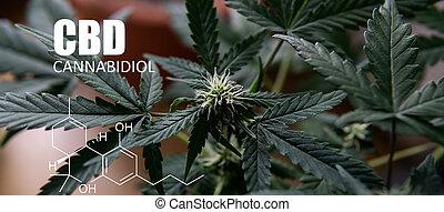 thc, elementos, cheque, lupa, cbd, cosecha, psychoactive, buds., marijuana