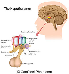 the, 核, ......的, the, hypothalamus
