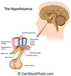 the, 核, ......的, the, hypothalamus