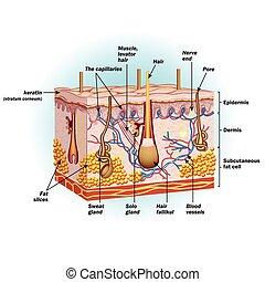 the, 結构, ......的, 人的 皮膚, 細胞
