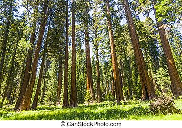the, 著名, 大, 红杉, 树, 是, 站, 在中, 红杉国家的公园, 巨人, 村庄, 区域, 大, 著名, 红杉,...
