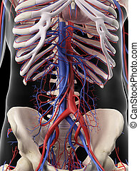 The abdominal arteries and veins - medically accurate ...