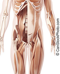 The abdominal muscles - Anatomy illustration showing the ...