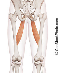 The adductor longus - medically accurate muscle illustration...