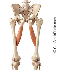 The adductor longus - medical accurate illustration of the...