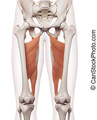 The adductor magnus - medically accurate muscle illustration...