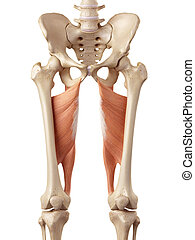 The adductor magnus - medical accurate illustration of the...