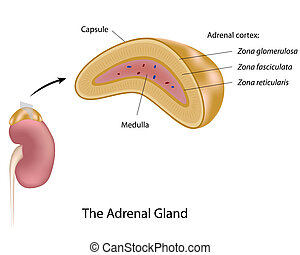 The adrenal gland, eps10 - Anatomy of human adrenal gland