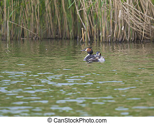 The adult great crested grebe, Podiceps cristatus on green clear lake with reeds.