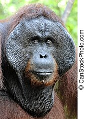 The adult male of the Orangutan in the bush. Adult male of...