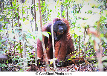 Portrait of the adult male of the orangutan in the wild nature. Island Borneo. Indonesia.