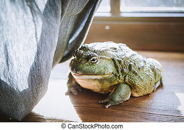The African bullfrog in front of window - The African ...