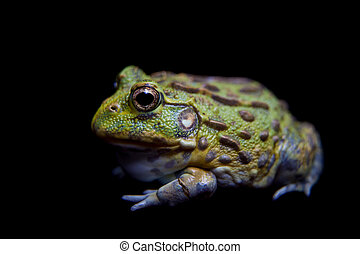 The African bullfrog on black - The African bullfrog, ...
