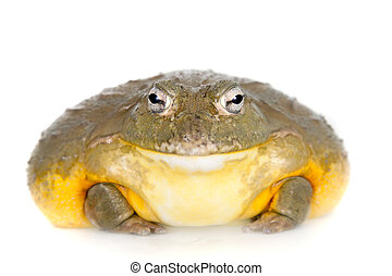 The African bullfrog on white - The African bullfrog, ...