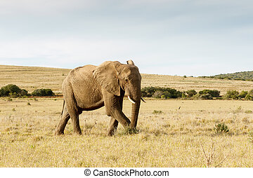 The African Bush Elephant just taking a stroll