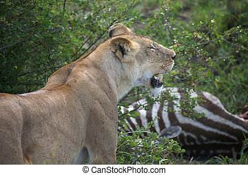 The african lioness (Panthera leo) has killed a zebra (Equus...