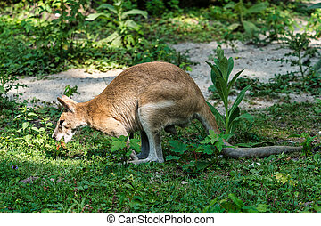 The agile wallaby, Macropus agilis also known as the sandy ...