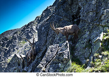 The Alpine ibex, (Capra ibex), is a species of wild goat that lives in the mountains of the European Alps. In its habitat region, the species is known as bouquetin (French), Steinbock (German), stambe