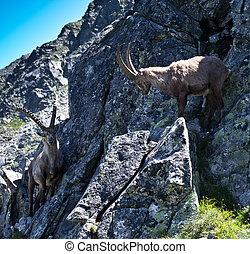 The Alpine ibex, (Capra ibex), is a species of wild goat...