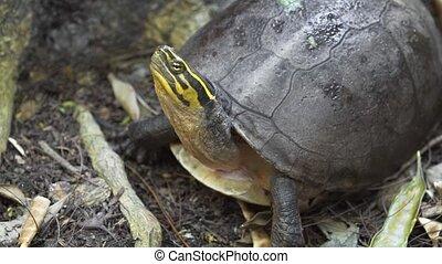The Amboina box turtle (Cuora amboinensis), or southeast ...