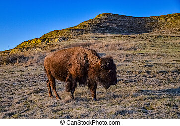 The American bison or buffalo (Bison bison). The Theodore Roosevelt National Park, North Dakota