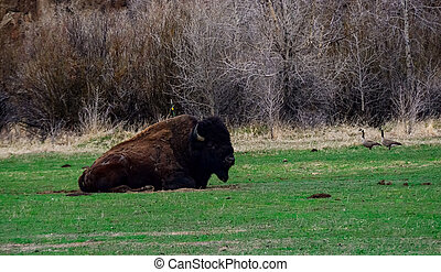 The American bison or buffalo (Bison bison). The Theodore Roosevelt National Park
