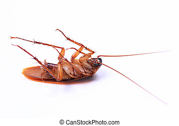 The American cockroach or Periplaneta died after spraying insecticides