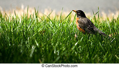 the american robin - Picture of an American Robin, sitting...