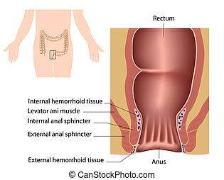Anatomy of human anal canal