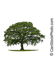 Oak tree with new leaf growth in early spring standing on a small patch of grass, against a white background.
