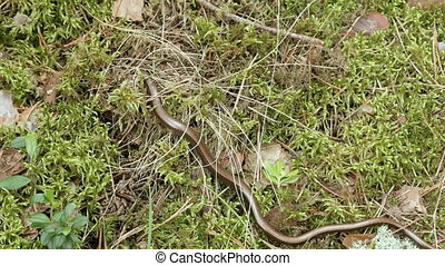 The Anguis fragilis, or slow worm, is a limbless lizard. Close up shot