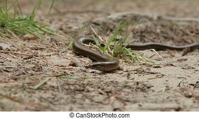 The Anguis fragilis, or slow worm, is a limbless lizard. Like a snake