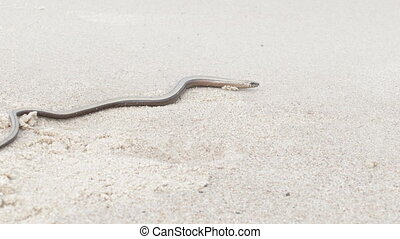 The Anguis fragilis or slow worm snake like limbless lizard...