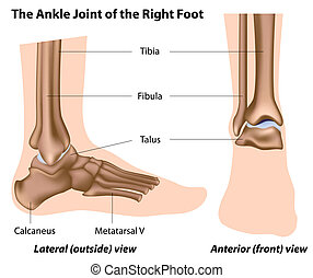 The ankle joint,