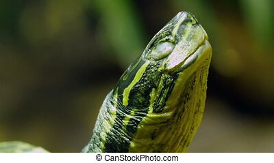 The Annam leaf turtle with its throat moving. The green...